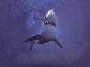 لعبة سمك القرش